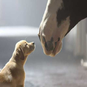 Budweiser Super Bowl anuncio Pupy Love