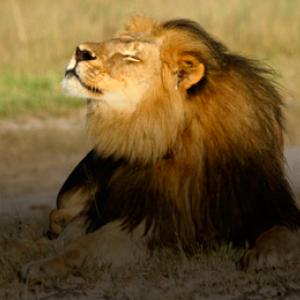 Las grandes aerolíneas estadounidenses prohíben el transporte de trofeos de caza tras la muerte del león Cecil