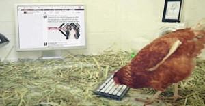 Conozca a Betty, la primera gallina