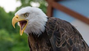Animal vs Máquina: en Holanda la policía adiestra a águilas para dar caza a drones