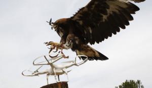 Las águilas rapaces, aliadas de Casa Real para apresar drones