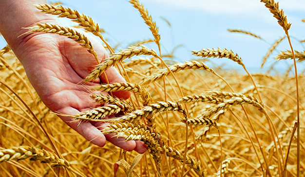 paja grano trigo
