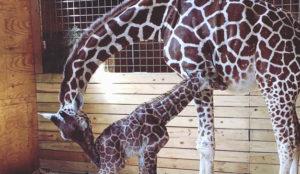April la jirafa cautiva a YouTube: 232 millones de personas han seguido su embarazo y parto
