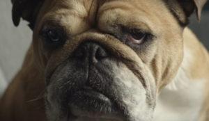 Este simpático bulldog demuestra, una vez más, que el perro es el mejor amigo del hombre
