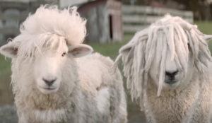 Dos ovejas muy gamberras se sueltan la melena en este hilarante spot neozelandés