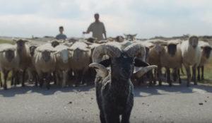 Un adorable carnero coge la vida por los cuernos en este