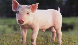 La industria porcina o todo lo que no hacer para gestionar una crisis reputacional