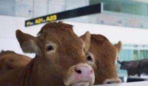 ¿Aerolíneas que tratan a sus clientes como ganado? No se pierda este spot lleno de vacas