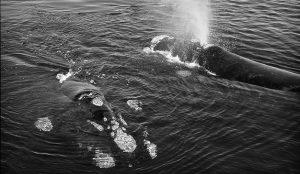 Sacar la cabeza y explorar, el comportamiento de las ballenas del que deberían aprender los medios