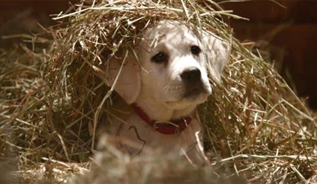 El famoso perrito de Budweiser regresa al ruedo publicitario para saciar su sed en los bares