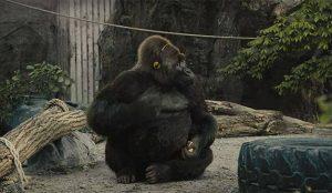 Para el gorila de este spot de PETA la libertad es un mero sueño al compás de