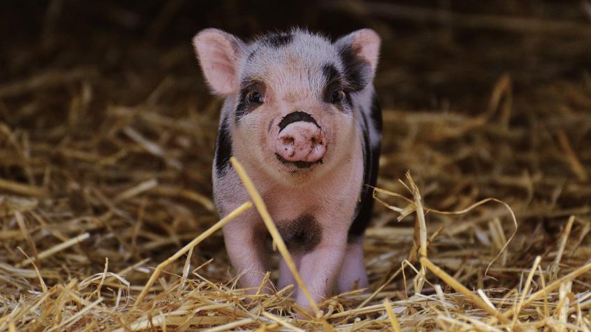 La tecnología blockchain sale al rescate del cerdo ibérico 100%