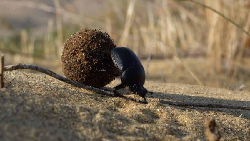 La gesta de un escarabajo pelotero parece un partido de fútbol en este divertido spot